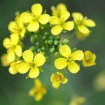 900Bio Graines d'antan Viol Oilseed Brassicacapestris Nain Essex l'huile de colza Vegetable Garden B0012 de la marque seedssupplier image 2 produit