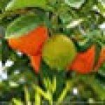 Fruits et art : Structures et couleurs des fruits, plan serré de la photographe, Dagmar Laimgruber. Calendrier mural 2017 de la marque Dagmar Laimgruber image 1 produit