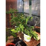 Serre à tomates, PE Plante Coque Légumes Tente avec fermeture Éclair enroulable Porte (cadre non inclus) de la marque Lembeauty image 3 produit